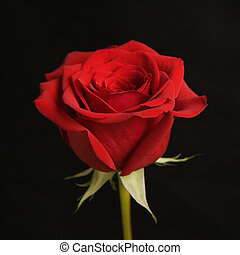 Red rose on black - Single long-stemmed red rose against...