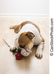 Dog sniffing red rose - English Bulldog lying on floor...