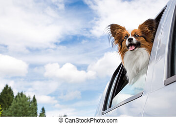 Papillon dog traveling in car - Dog poking his head out...