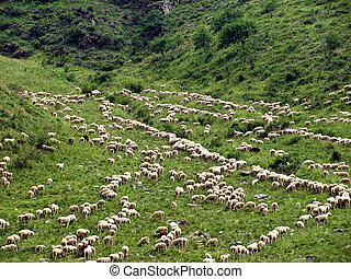 Sheeps Climbing a Mountain - Alps - A herd of Sheep climbing...