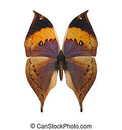 Indian Leaf Butterfly - 3D digital render of a Kallima...