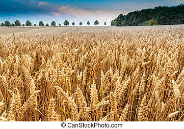 Cornfield - Wheat ears against the blue sky