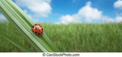 ladybird on a grass