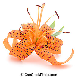 Tiger Lily isolated on a white background