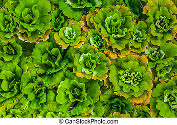 Water lettuce - Close-up Water lettuce Pistia stratiotes L...