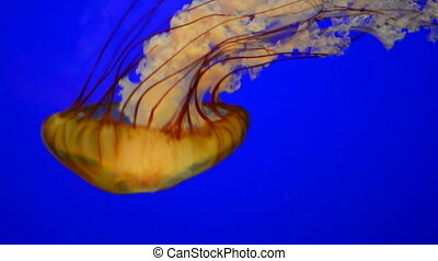 Sea Nettle Jellyfish - Orange Sea Nettle Jellyfish slowing...