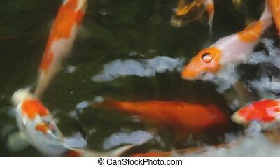 Koi Fish Feeding in Pond 1920x1080 - Koi Fish Swimming and...