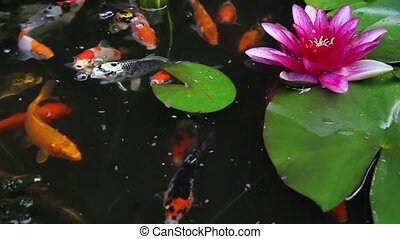 Koi Fish Feeding in Pond 1080p - Koi Fish Swimming and...