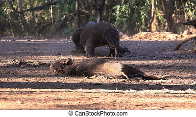 Komodo Dragon Comes Victim - Komodo Dragon comes nearer to...
