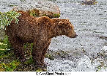 A Brown Bear Standing By Brooks River