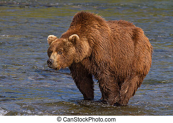 Big Brown Bear With a Pronounced Hump - A huge grizzly at...