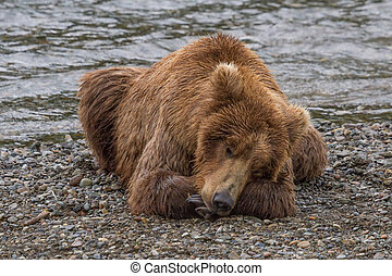 Brown Bear Taking a Nap - A Brown bear taking a nap by the...