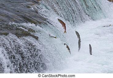 Sockeye Salmon Jumping Up Falls - Sockeye salmon jumping up...