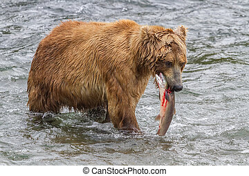 Brown Bear With Bloody Salmon in Mouth