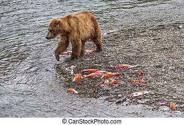 Brown Bear Walking by the Carcasses of Salmon - Aftermath of...