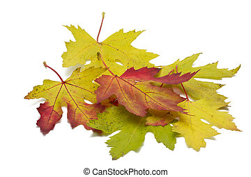 Autumn maple leaves on white background