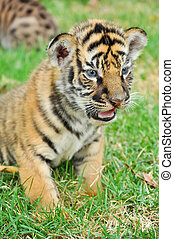 Baby bengal tiger and kitten are very similar But baby...