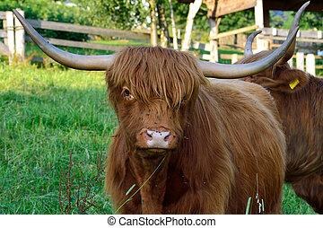 Hochlandrinder - Schottische Hochlandrinder auf der Weide