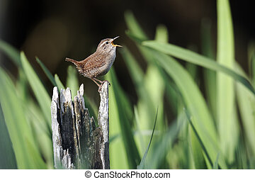 Wren, Troglodytes troglodytes, single bird singing on post,...