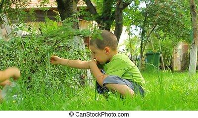 Preschooler boys picking gooseberries in a garden
