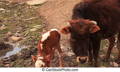 Cow Attack Photographer - The cow protects the calf and...