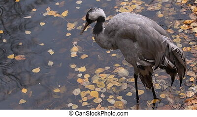 gray heron - The gray heron among yellow leaves