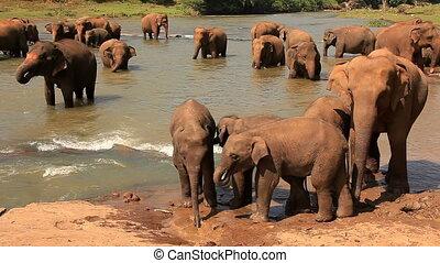 Elephants Drink Water River
