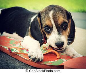 Cute Beagle puppy that bites a slipper