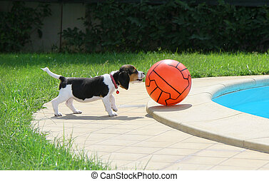 Cute Beagle puppy with ball near the pool