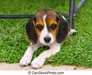 Cute Beagle puppy in the grass