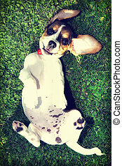 Cute Beagle puppy in the grass with vintage filte