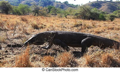 Komodo Dragon Approach - Komodo Dragon goes in the direction...