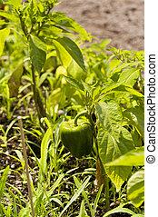 Pepper in a Garden