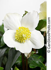 Black hellebore, Helleborus niger or Christmas Rose