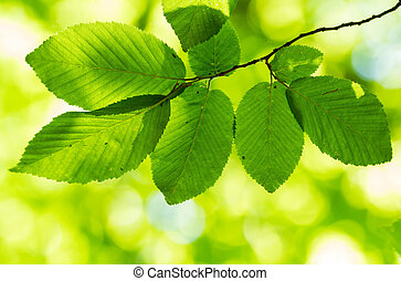 Hornbeam leaves - Beautiful, harmonious forest detail, with...