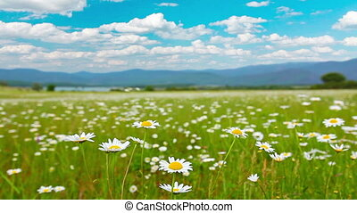 valley of the daisies
