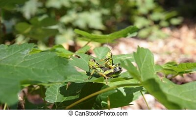 grasshoppers mating - grasshoppers in Love, Podisma sub...