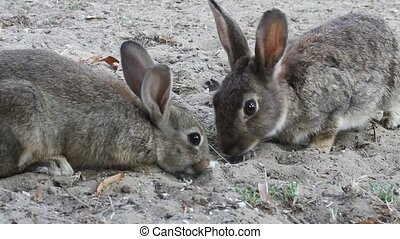 Two rabbits eat hungrily a loaf of bread