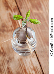 Germinating avocado - part 4 - Avocado seed with root and...
