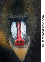 stunning look of a baboon monkey