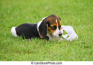 Cute Beagle puppy in the grass play with plastic cup