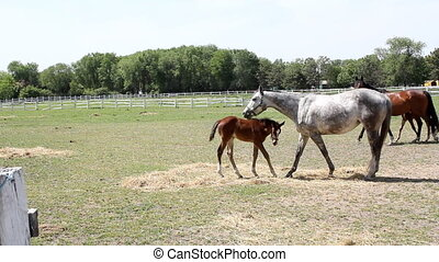 horses and foals on farm