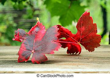 ill grape - Ill grape leaves of Pseudopeziza tracheiphila...