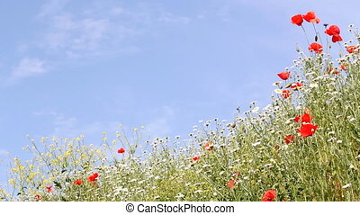 meadow with wild flowers and blue sky