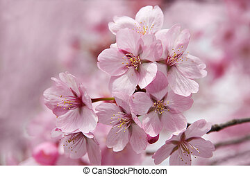 Cherry flowers in spring time