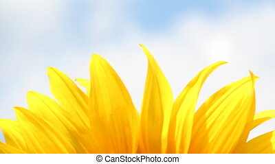 sunflower leaf nature background