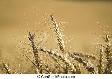 cierre, Arriba, trigo, cosecha, tiempo