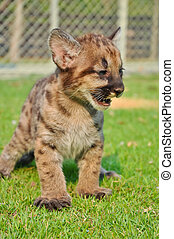 Baby Puma and kitten are very similar But baby puma is a...
