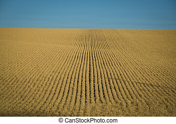 Wheat fields ready for harvest, Washington State - Fields of...
