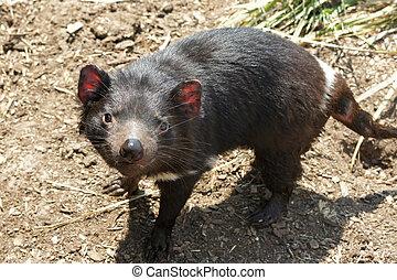Tasmanian Devil, Australia - Tasmanian Devil, Freycinet...